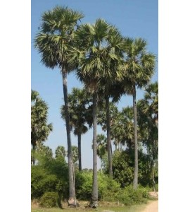 Sucre de palme de Kampong Speu